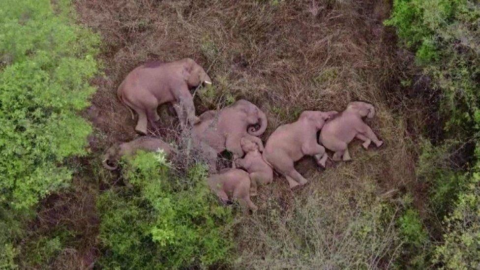 How Elephants sleep