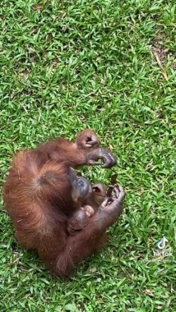 A woman dropped her sunglasses in the Orangutan enclosure