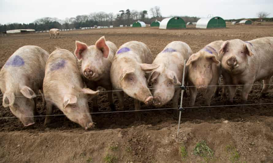Surplus pigs may be culled because of staff shortages, says meat industry   Farm animals   The G ...
