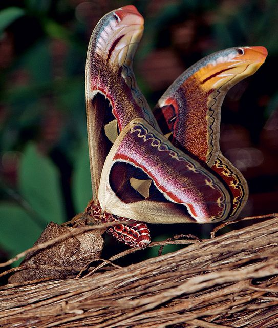 The atlas moth has wings that mimic two cobras watching her back