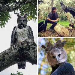 This is a Harpy Eagle, One of the largest eagles in the world