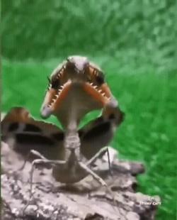 The Malaysian dead leaf Mantis